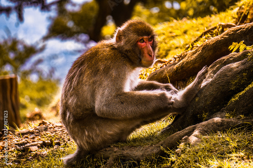 Fototapeta monkey scratching its legs and wasting time