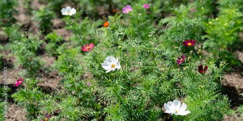コスモスの花 - 225988001