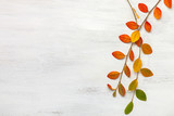 Two branches with colorful autumn leaves on a white shabby wooden background. Flat lay. - 225998051