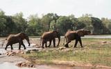 Kenya, Tsavo East - Elephants in their reserve