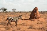 Kenya, Tsavo East - Zebras in their reserve - 226001093