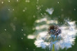 White fluffy dandelions, natural green blurred spring background, selective focus. - 226007453