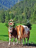 Almabtrieb Pertisau, Karwendel, Tirol