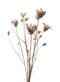 dry field flower with seeds isolated on white, clipping path