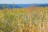 grünes gelbes Rapsfeld mit blauen Kornblumen und weißer Kamille