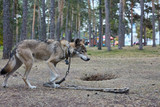 Motley skinny wolf on a chain in the park.