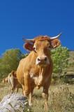 Vache race gasconne dans les pyrénées