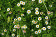 Daisy flowers in the garden with drops in rainy season - 226075215