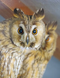 Beautiful and big owl - 226093091