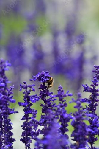 Lavender flowers with a bumble bee