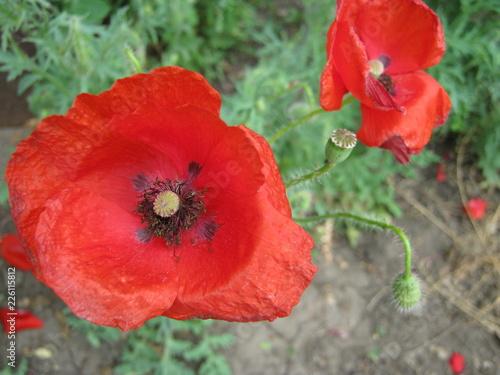red poppy in field - 226115812