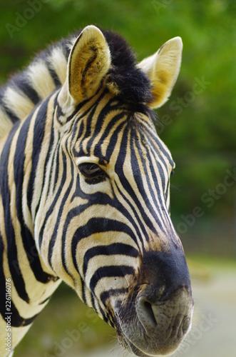 zebra - 226116076