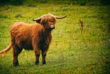 Scotland Cow