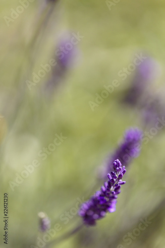 Purple flowers field./ Lavender background of natural blossom