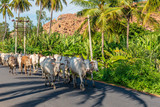 Cattle walking on a highway bordered by banana  and palm trees