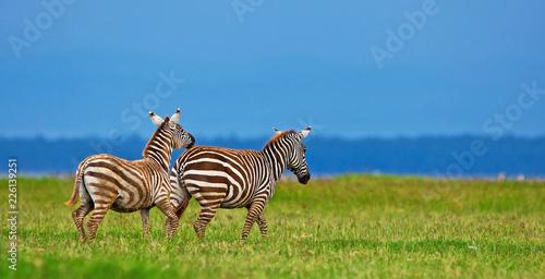 Zebras in the Lake Nakuru National Park, Kenya - 226139251