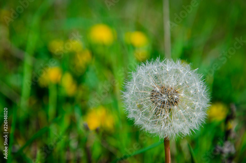 White dandelion on green grass background. Floral concept.Copy space.