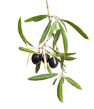 Olive branch with black olives and leaves isolated on white background. - 226151217