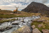 Dramatic landscape image of red deer stag by river flowing down mountainous landscape in Autumn - 226169838