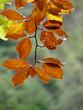 Detalle de hojas de haya en un bosque en otoño. Valle del Tena, Huesca.