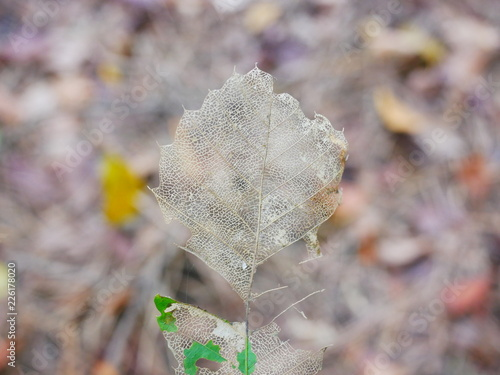 Foto Murales 잎맥만 남은 마른 나뭇잎