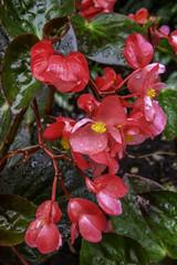Wax Leaf Begonia