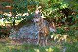 Wolf , Grauer Wolf (Canis lupus) im Nationalpark Bayerischer Wald