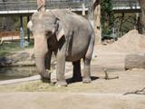 Elefant im Zoo front Aufnahme beim Essen