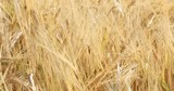 Close up shot of a ripe field of golden barley in the morning sunlight, ears softly swinging in the evening breeze.Shallow depth of field. - 226195452