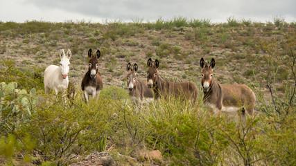 Wild Donkeys in Big Bend Ranch State Park, Texas © st_matty