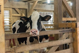 Beautiful and happy pedigree Holstein cow in a wooden stall