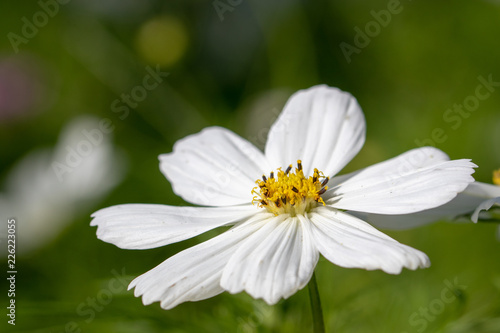 White cosmos flowers buy photos ap images detailview white cosmos flowers mightylinksfo