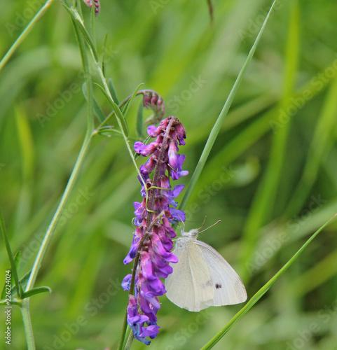 papillon blanc - 226224024