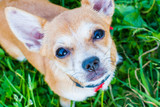 dog breed Chihuahua sitting on the grass