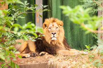 Sitting asiatic lion in london zoo