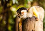 a squirrel momkey black-capped