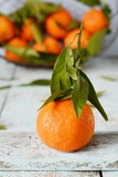 Tangerines (oranges, mandarins, clementines, citrus fruits) with leaves in basket on Gray background. Mandarin oranges with leaves in white basket on rustic wood background. Citrus