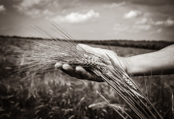 human hand holds wheat spikelets at harvest time against the background of a wheat field