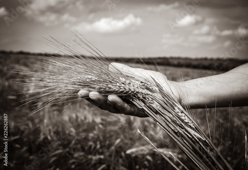 Leinwanddruck Bild human hand holds wheat spikelets at harvest time against the background of a wheat field