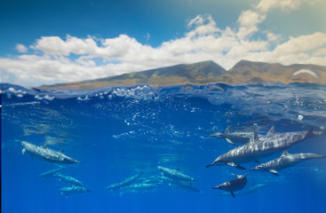Doplphins and the west Maui Mountains  © Drew
