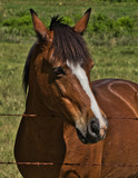 Friendly Brown Horse  A0600