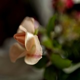 delicate cream rose in a vase on the table, soft focus, narrow focus area