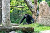 Male Chimpanzee isolated