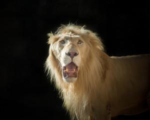 Lion face on black background.