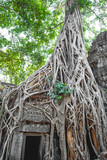 Covered with interlaced roots of the strangler ficus, the ruins of the temple of Ta Prohm (the temple of Angelina Jolie). Angkor Thom. Cambodia.
