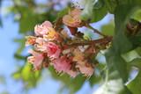 Aesculus carnea - Red Chestnut - Marronnier rouge - 226295655
