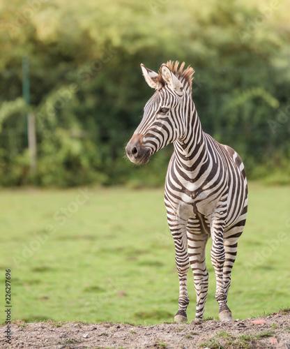 Zebra in der Wildnis