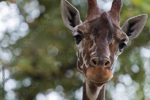 Naklejka Kopf einer Giraffe, frontal