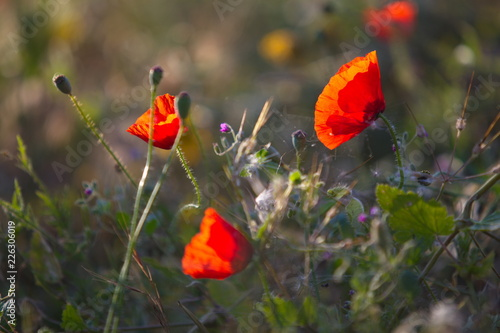 Poppies: early morning in the mediterranean garden - 226306019