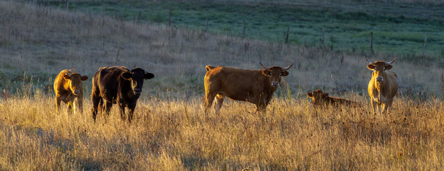 young cattle in the pasture